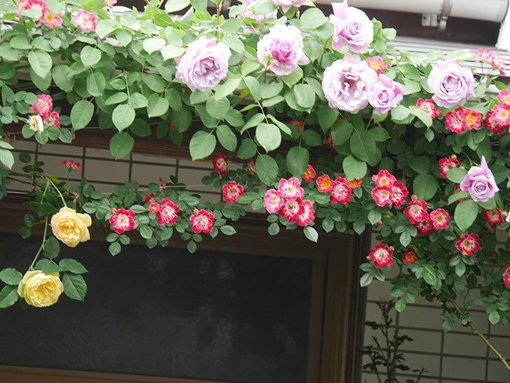 サムズ・アップ(Thumbs Up)の花がたくさん咲いた。半ツルバラ。2021年-051.jpg