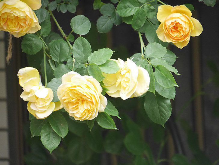 サムズ・アップ(Thumbs Up)の花がたくさん咲いた。半ツルバラ。2021年-052.jpg