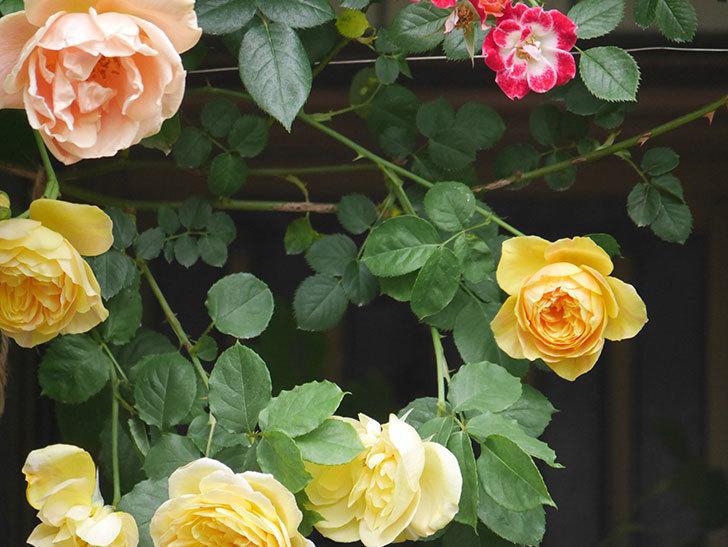 サムズ・アップ(Thumbs Up)の花がたくさん咲いた。半ツルバラ。2021年-053.jpg
