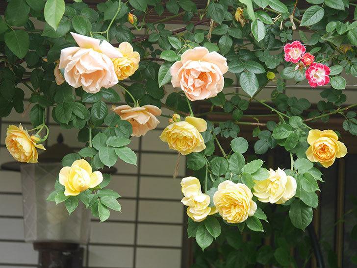 サムズ・アップ(Thumbs Up)の花がたくさん咲いた。半ツルバラ。2021年-054.jpg