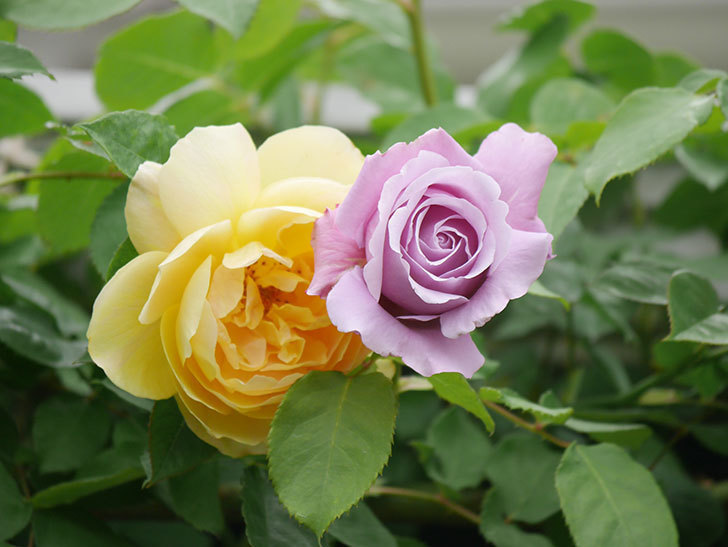 サムズ・アップ(Thumbs Up)の花がたくさん咲いた。半ツルバラ。2021年-055.jpg