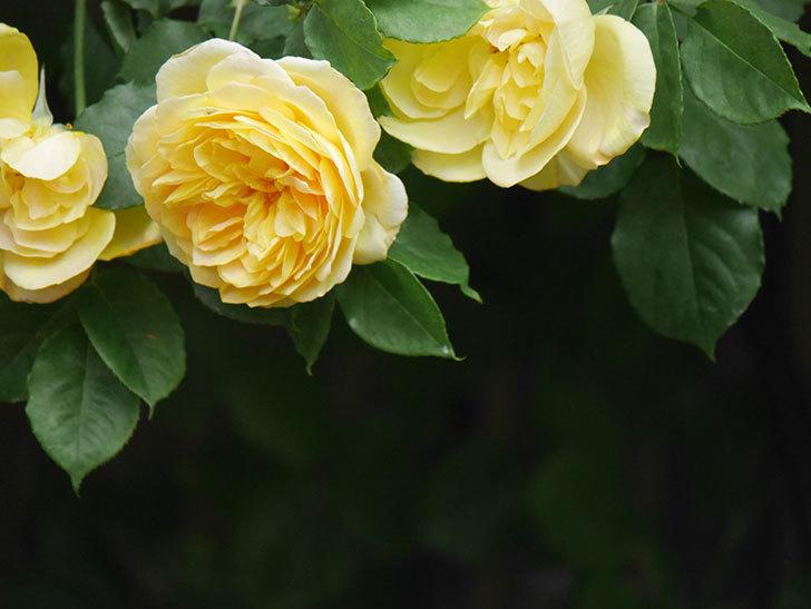 サムズ・アップ(Thumbs Up)の花がたくさん咲いた。半ツルバラ。2021年-056.jpg
