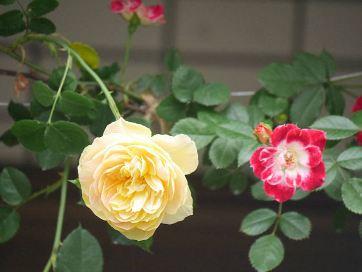 サムズ・アップ(Thumbs Up)の花がたくさん咲いた。半ツルバラ。2021年-057.jpg