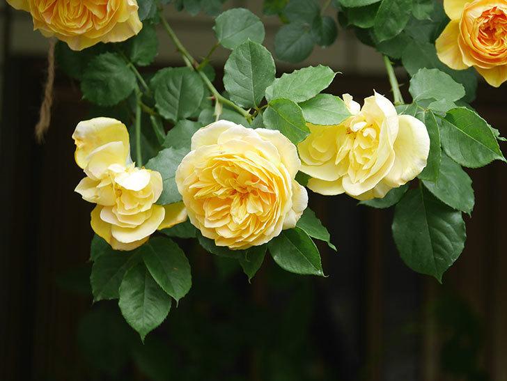 サムズ・アップ(Thumbs Up)の花がたくさん咲いた。半ツルバラ。2021年-058.jpg