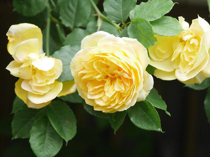 サムズ・アップ(Thumbs Up)の花がたくさん咲いた。半ツルバラ。2021年-059.jpg