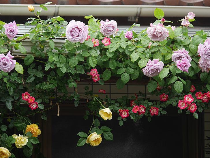 サムズ・アップ(Thumbs Up)の花がたくさん咲いた。半ツルバラ。2021年-060.jpg