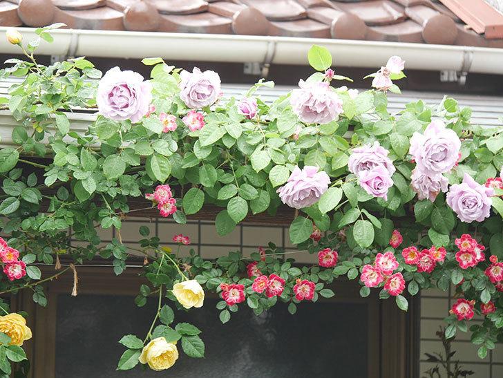 サムズ・アップ(Thumbs Up)の花がたくさん咲いた。半ツルバラ。2021年-061.jpg