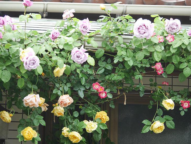 サムズ・アップ(Thumbs Up)の花がたくさん咲いた。半ツルバラ。2021年-062.jpg