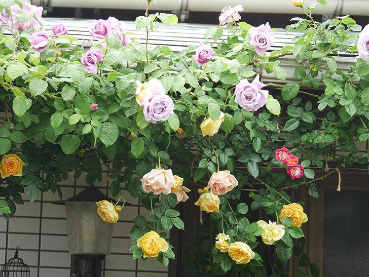 サムズ・アップ(Thumbs Up)の花がたくさん咲いた。半ツルバラ。2021年-063.jpg