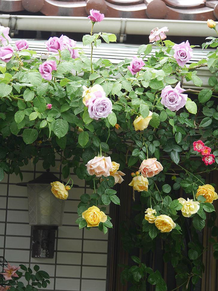 サムズ・アップ(Thumbs Up)の花がたくさん咲いた。半ツルバラ。2021年-064.jpg