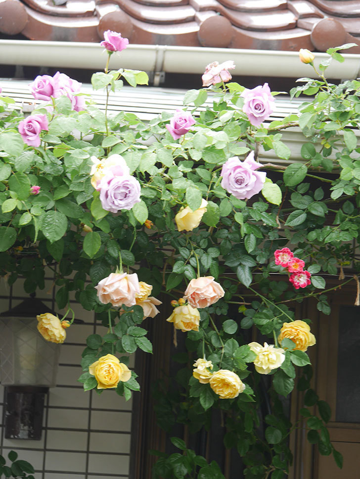 サムズ・アップ(Thumbs Up)の花がたくさん咲いた。半ツルバラ。2021年-065.jpg