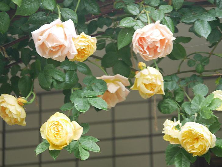 サムズ・アップ(Thumbs Up)の花がたくさん咲いた。半ツルバラ。2021年-066.jpg