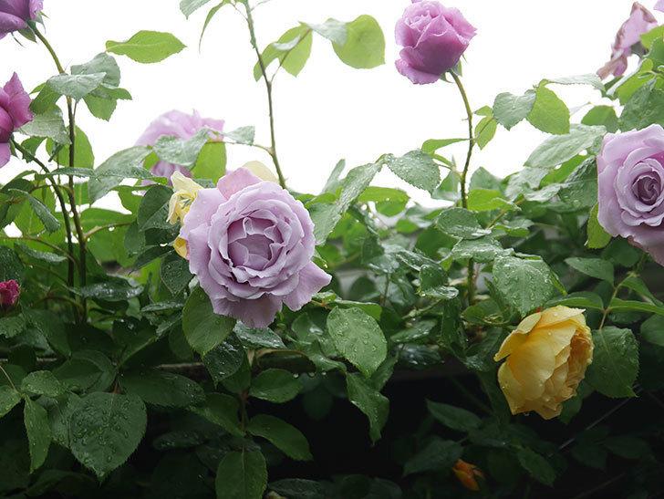 サムズ・アップ(Thumbs Up)の花がたくさん咲いた。半ツルバラ。2021年-067.jpg