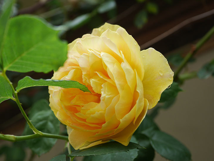 サムズ・アップ(Thumbs Up)の花がたくさん咲いた。半ツルバラ。2021年-070.jpg