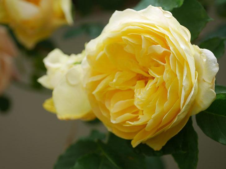 サムズ・アップ(Thumbs Up)の花がたくさん咲いた。半ツルバラ。2021年-071.jpg