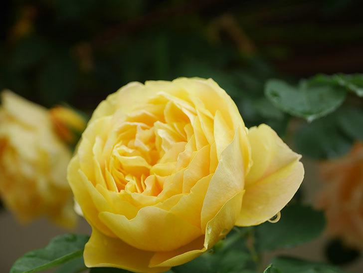 サムズ・アップ(Thumbs Up)の花がたくさん咲いた。半ツルバラ。2021年-073.jpg
