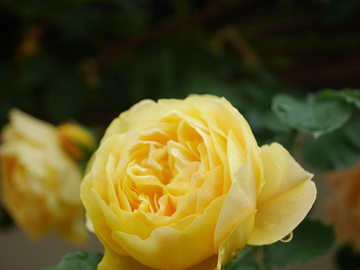 サムズ・アップ(Thumbs Up)の花がたくさん咲いた。半ツルバラ。2021年-074.jpg