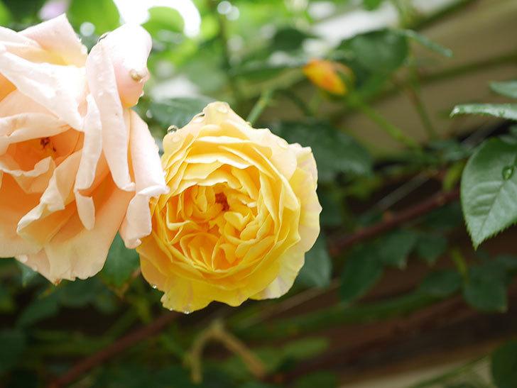 サムズ・アップ(Thumbs Up)の花がたくさん咲いた。半ツルバラ。2021年-075.jpg