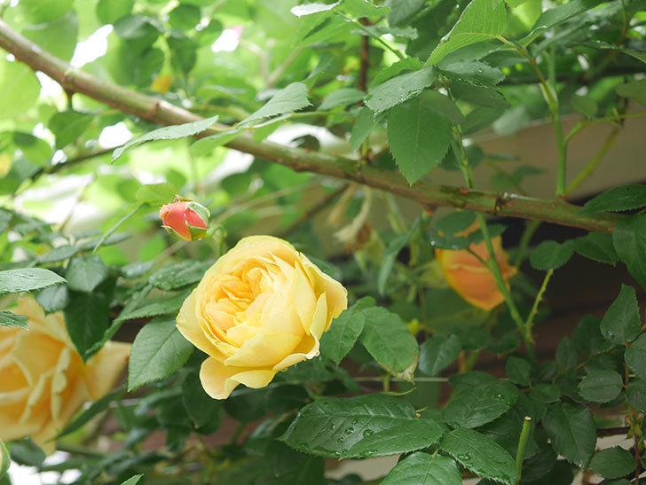 サムズ・アップ(Thumbs Up)の花がたくさん咲いた。半ツルバラ。2021年-076.jpg