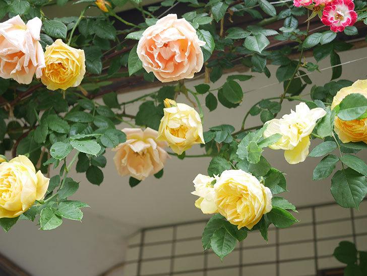 サムズ・アップ(Thumbs Up)の花がたくさん咲いた。半ツルバラ。2021年-077.jpg