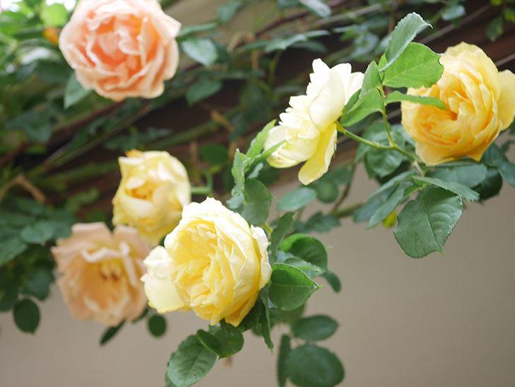 サムズ・アップ(Thumbs Up)の花がたくさん咲いた。半ツルバラ。2021年-078.jpg