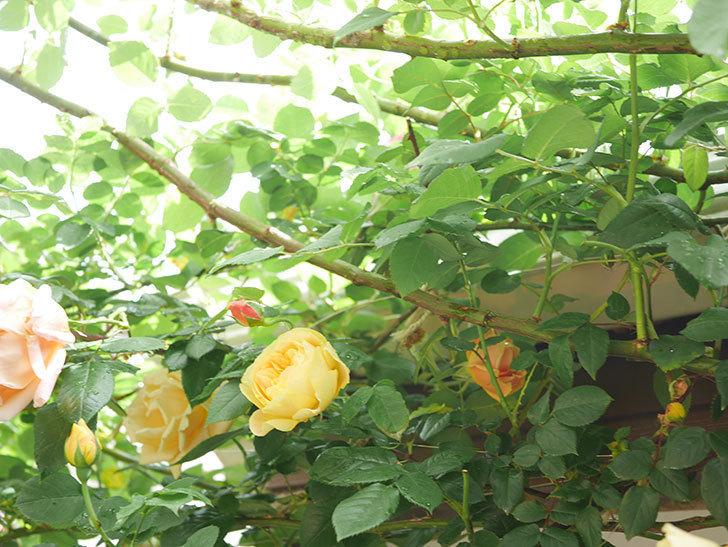 サムズ・アップ(Thumbs Up)の花がたくさん咲いた。半ツルバラ。2021年-079.jpg