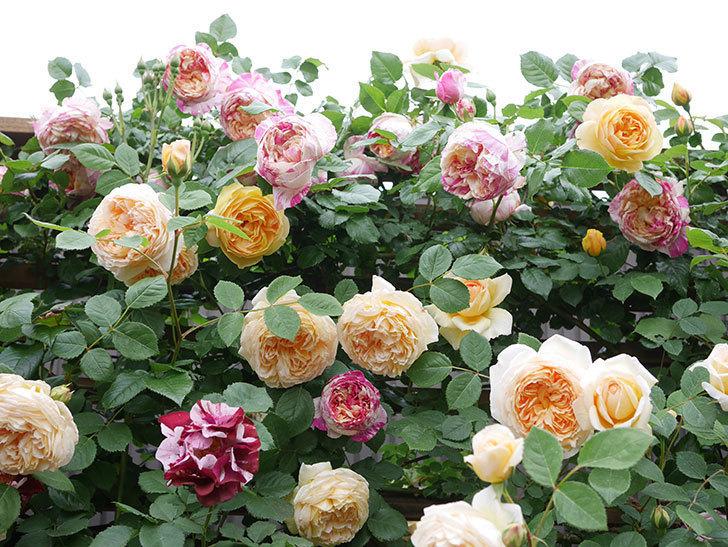 サムズ・アップ(Thumbs Up)の花がたくさん咲いた。半ツルバラ。2021年-080.jpg
