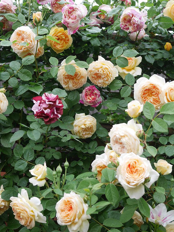 サムズ・アップ(Thumbs Up)の花がたくさん咲いた。半ツルバラ。2021年-081.jpg