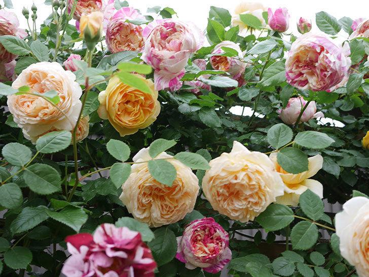 サムズ・アップ(Thumbs Up)の花がたくさん咲いた。半ツルバラ。2021年-082.jpg