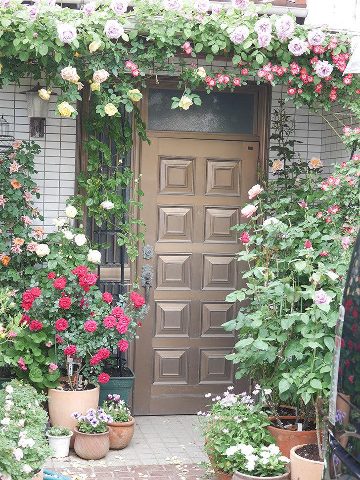 サムズ・アップ(Thumbs Up)の花がたくさん咲いた。半ツルバラ。2021年-084.jpg