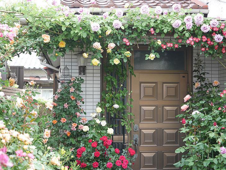 サムズ・アップ(Thumbs Up)の花がたくさん咲いた。半ツルバラ。2021年-085.jpg