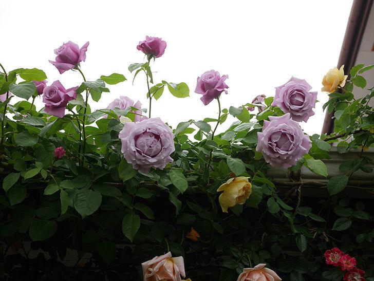 サムズ・アップ(Thumbs Up)の花がたくさん咲いた。半ツルバラ。2021年-086.jpg
