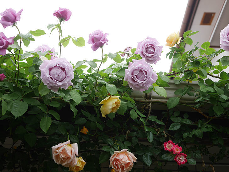 サムズ・アップ(Thumbs Up)の花がたくさん咲いた。半ツルバラ。2021年-087.jpg