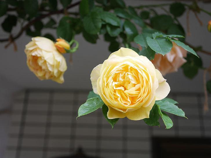 サムズ・アップ(Thumbs Up)の花がたくさん咲いた。半ツルバラ。2021年-088.jpg