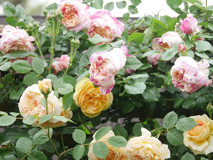 サムズ・アップ(Thumbs Up)の花がたくさん咲いた。半ツルバラ。2021年-090.jpg