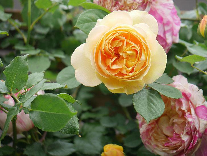 サムズ・アップ(Thumbs Up)の花がたくさん咲いた。半ツルバラ。2021年-091.jpg