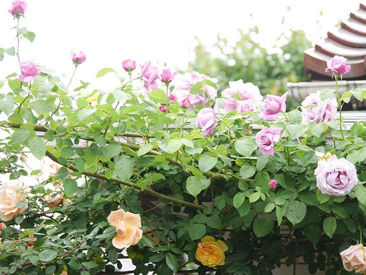 サムズ・アップ(Thumbs Up)の花がたくさん咲いた。半ツルバラ。2021年-093.jpg