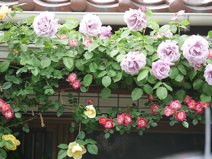 サムズ・アップ(Thumbs Up)の花がたくさん咲いた。半ツルバラ。2021年-094.jpg