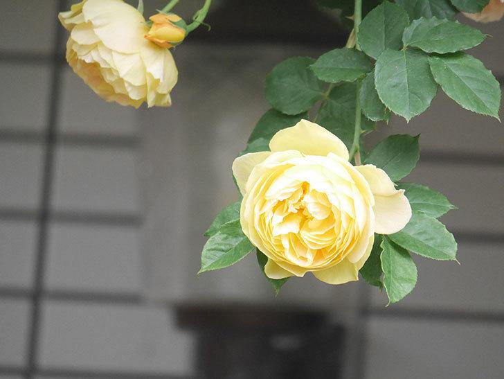 サムズ・アップ(Thumbs Up)の花がたくさん咲いた。半ツルバラ。2021年-095.jpg