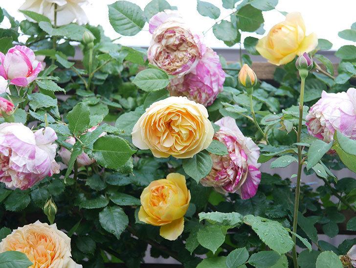 サムズ・アップ(Thumbs Up)の花がたくさん咲いた。半ツルバラ。2021年-096.jpg