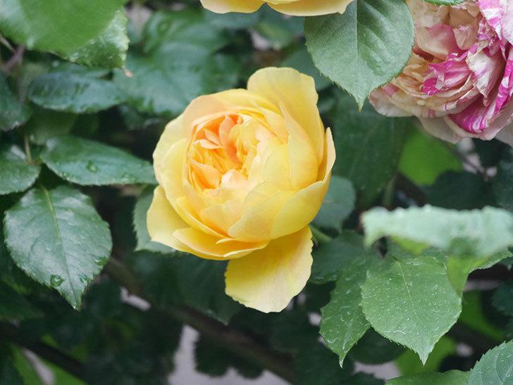 サムズ・アップ(Thumbs Up)の花がたくさん咲いた。半ツルバラ。2021年-097.jpg