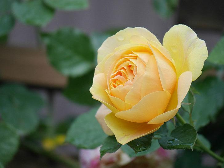 サムズ・アップ(Thumbs Up)の花がたくさん咲いた。半ツルバラ。2021年-098.jpg