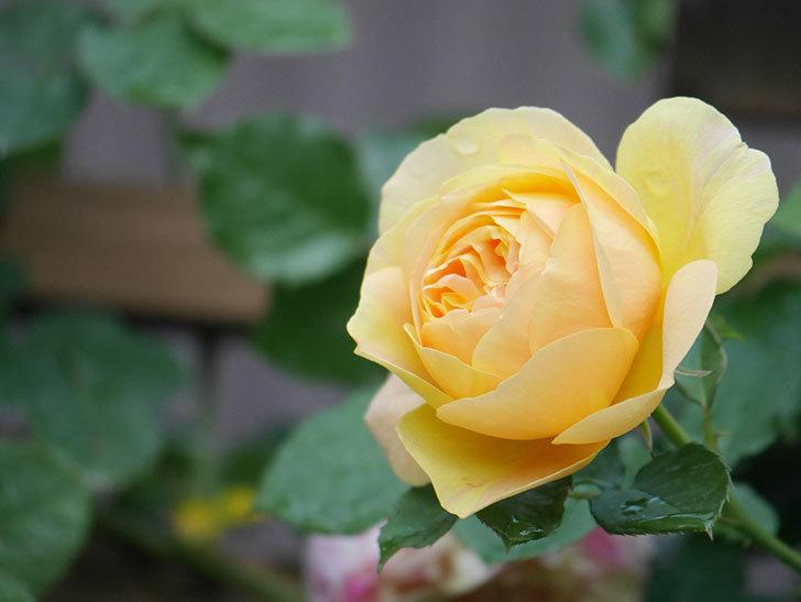 サムズ・アップ(Thumbs Up)の花がたくさん咲いた。半ツルバラ。2021年-099.jpg
