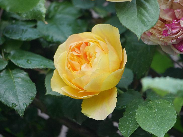 サムズ・アップ(Thumbs Up)の花がたくさん咲いた。半ツルバラ。2021年-100.jpg