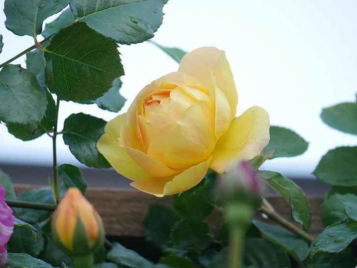 サムズ・アップ(Thumbs Up)の花がたくさん咲いた。半ツルバラ。2021年-101.jpg