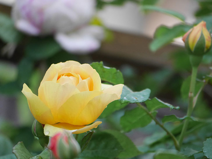 サムズ・アップ(Thumbs Up)の花がたくさん咲いた。半ツルバラ。2021年-102.jpg