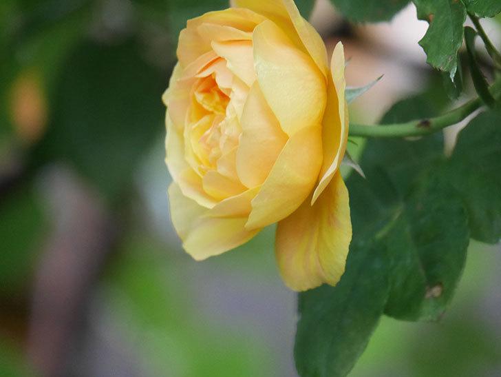 サムズ・アップ(Thumbs Up)の花がたくさん咲いた。半ツルバラ。2021年-103.jpg
