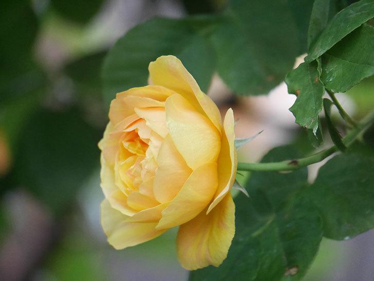 サムズ・アップ(Thumbs Up)の花がたくさん咲いた。半ツルバラ。2021年-104.jpg