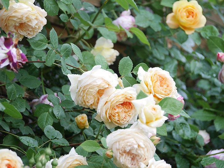 サムズ・アップ(Thumbs Up)の花がたくさん咲いた。半ツルバラ。2021年-107.jpg