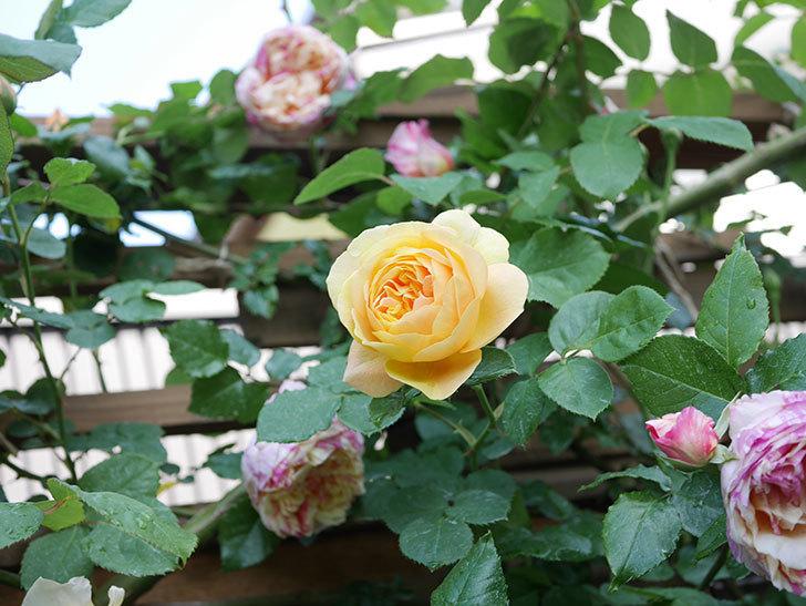 サムズ・アップ(Thumbs Up)の花がたくさん咲いた。半ツルバラ。2021年-108.jpg